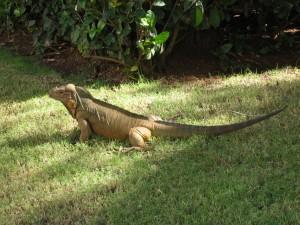 136 Iguana